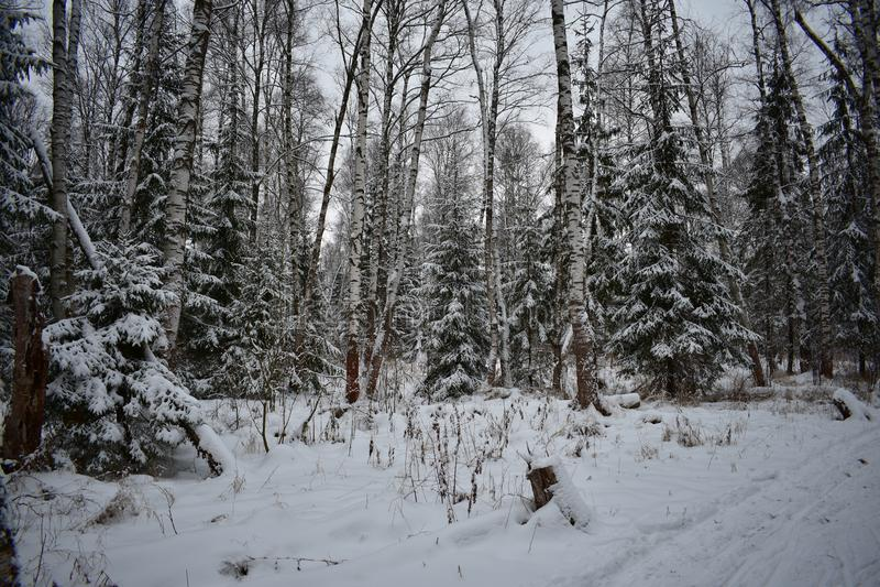 As árvores cobertos de neve, a neve branca da neve da neve derivam o inverno da feiticeira, esboço do inverno, fantasia da neve fotos de stock royalty free