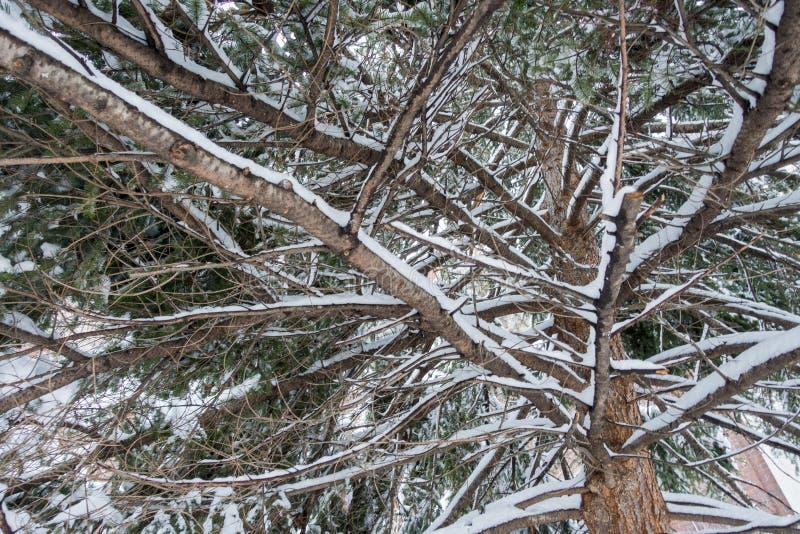 As árvores cobrem com a neve que olha acima de debaixo da árvore fotografia de stock royalty free