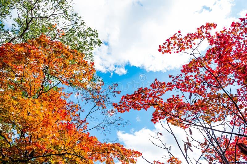 As árvores coloridas brilhantes do outono na árvore de bordo vermelho e na árvore de bordo alaranjada contra o fundo claro do céu imagens de stock