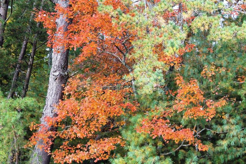 As árvores com queda coloriram as folhas imagem de stock