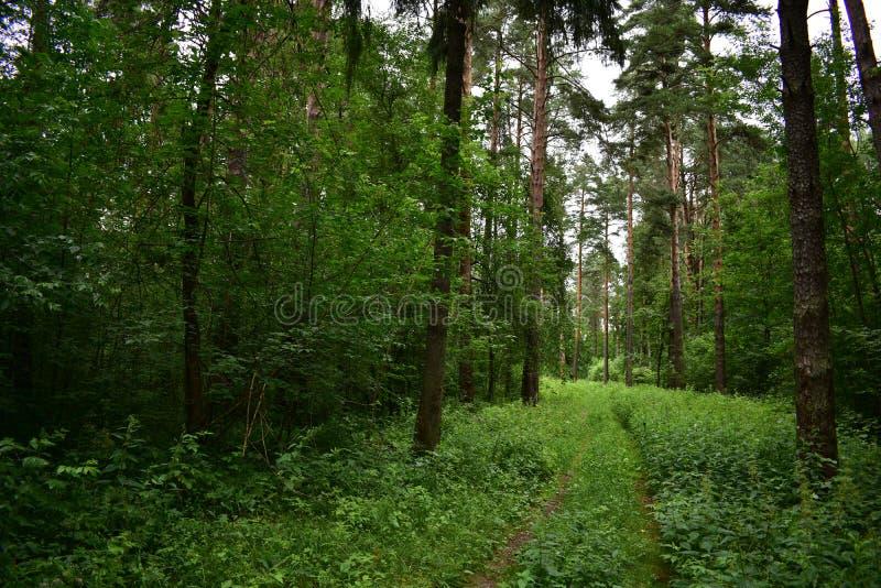 As árvores coníferas ao longo da estrada, ambiente, sempre-verde saem do parque exterior fotos de stock