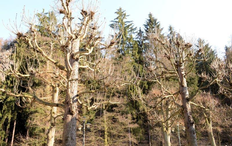 As árvores da dança com mil braços fotografia de stock royalty free