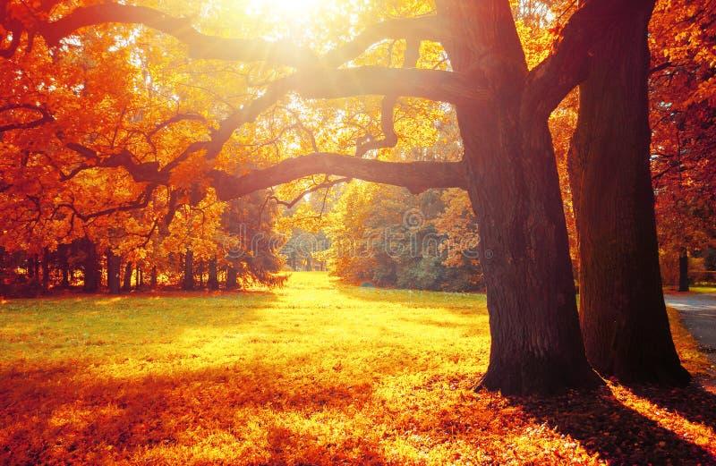 As árvores da queda no parque ensolarado de outubro iluminaram-se nivelando a luz do sol Paisagem colorida da queda fotografia de stock