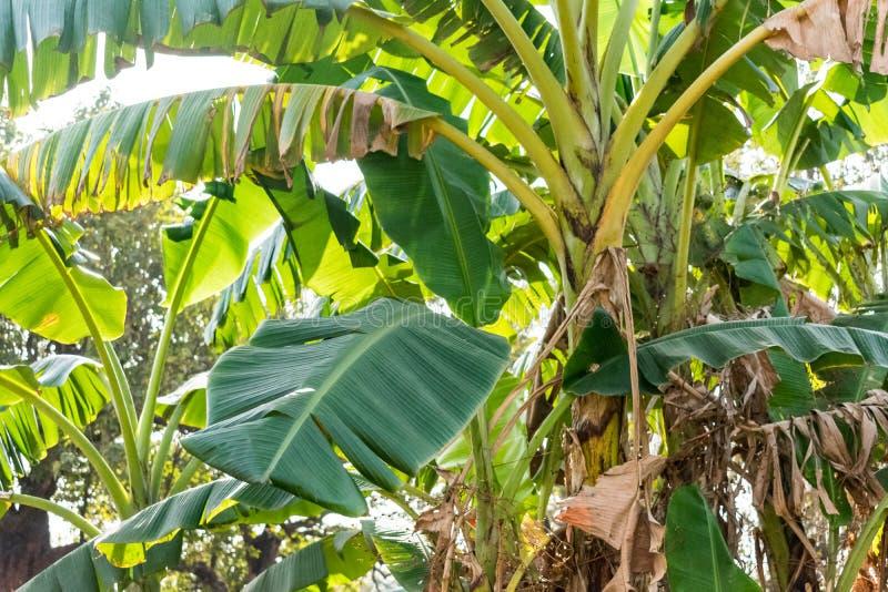 As árvores de banana fecham a vista perto de um jardim rural da casa que olha impressionante imagem de stock royalty free