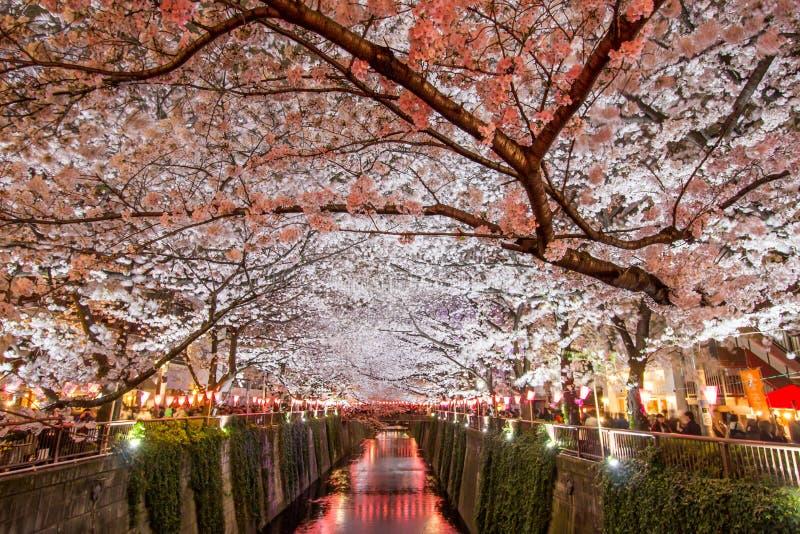 As árvores de cereja ao longo do rio de Meguro, Meguro-ku, Tóquio, Japão são iluminam-se acima nas noites da mola fotografia de stock