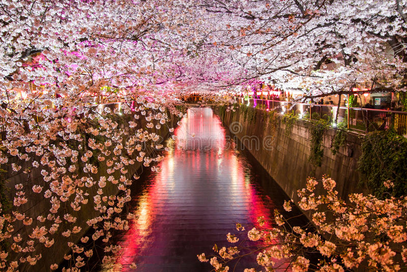 As árvores de cereja ao longo do rio de Meguro, Meguro-ku, Tóquio, Japão são iluminam-se acima nas noites da mola imagem de stock
