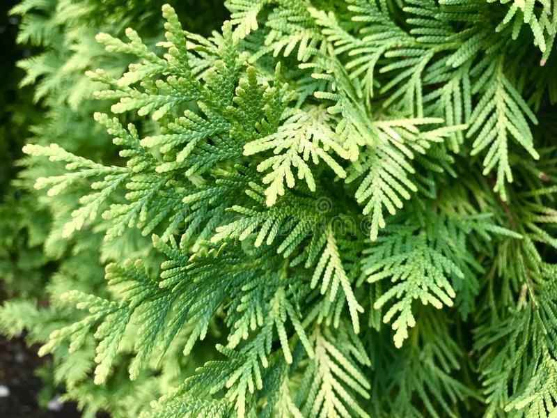 As árvores de Hinoki do japonês fecham-se acima da foto imagem de stock royalty free