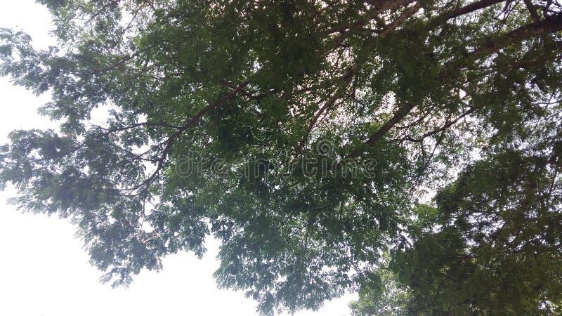 As árvores do céu, árvores de folhas mortas, árvores obscuros, ar verde surgem fotos de stock royalty free