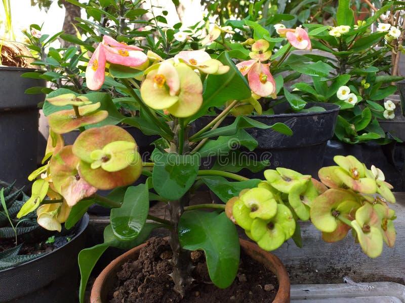 as árvores do frangipani do anão cortaram e fizeram bonsais fotografia de stock royalty free