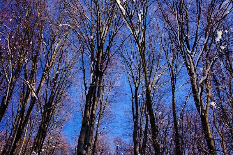 As árvores dos azul-céu da floresta da neve da paisagem do inverno terminam acima mola que começa março fotos de stock