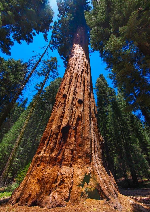 As árvores grandes famosas da sequoia fotografia de stock