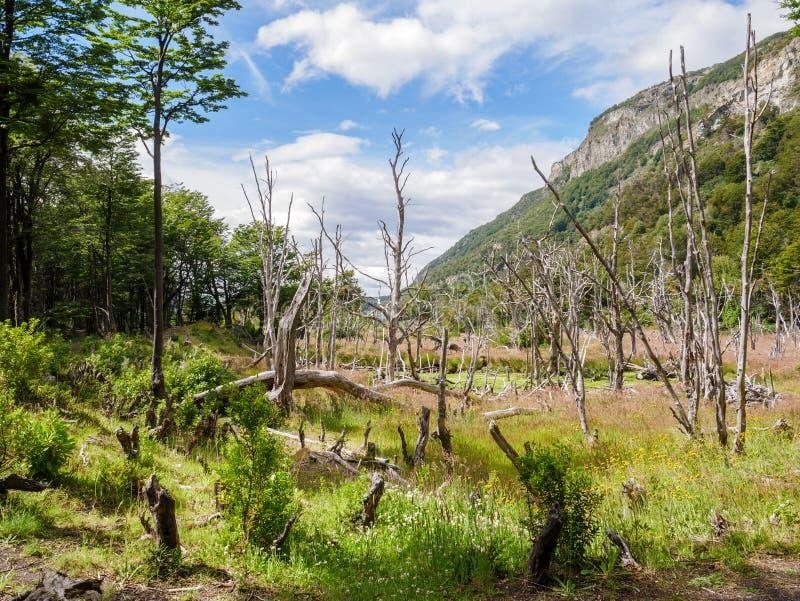 As árvores inoperantes causaram por castores em Tierra del Fuego National Park fotos de stock royalty free