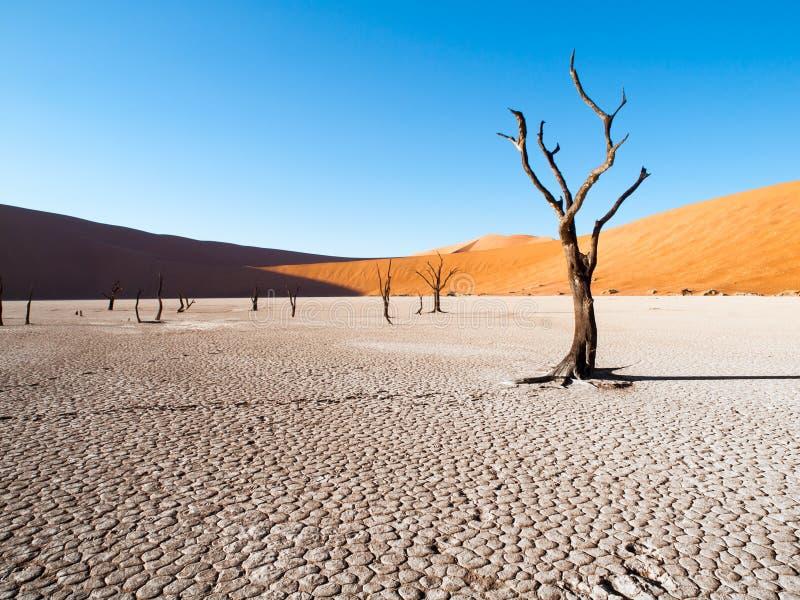 As árvores inoperantes do espinho do camelo em Deadvlei secam a bandeja com solo rachado no meio das dunas vermelhas do deserto d foto de stock royalty free