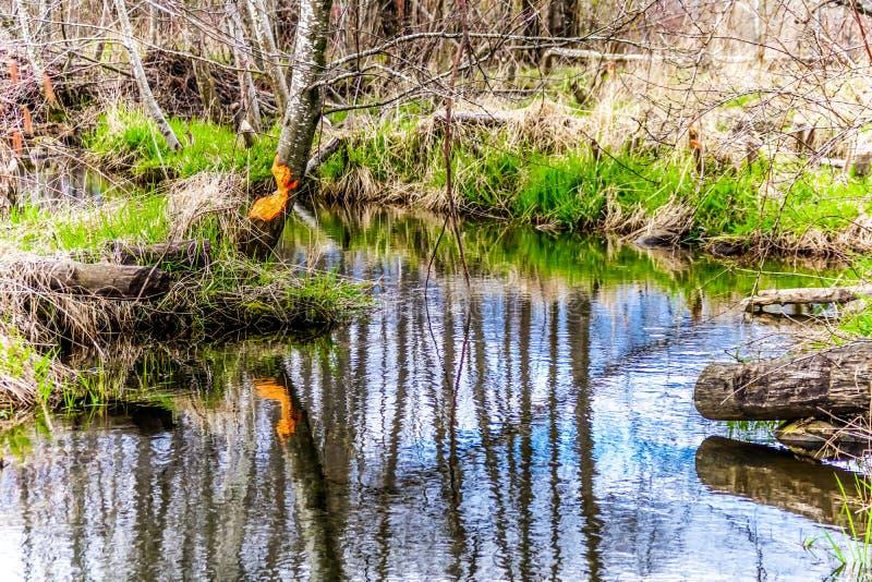As árvores mastigaram em parte completamente por castores no Columbia Britânica bonito, Canadá fotos de stock royalty free