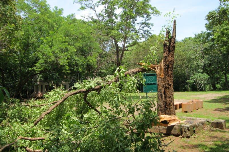 As árvores quebraram pelo forte vento, a tempestade quebraram o vidoeiro grande fotos de stock