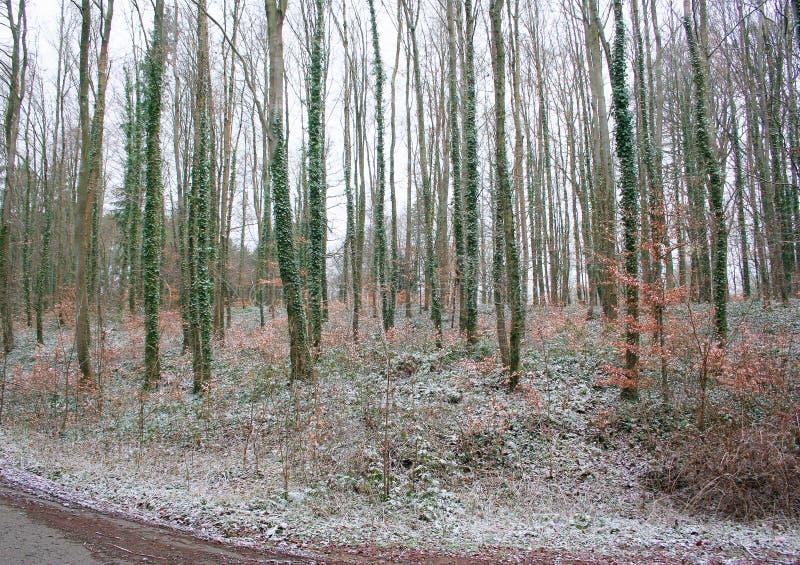 As árvores retorceram o bebedor Paisagem da floresta da floresta do inverno imagens de stock