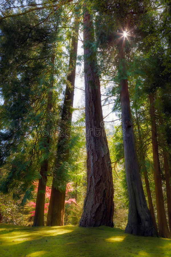 As árvores sempre-verdes altas e poderosas no japonês de Portland jardinam fotos de stock royalty free