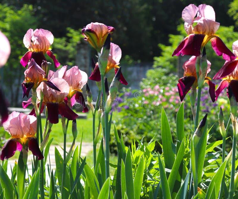 As íris roxas incandescem na luz do sol e mostram sua beleza floral imagem de stock