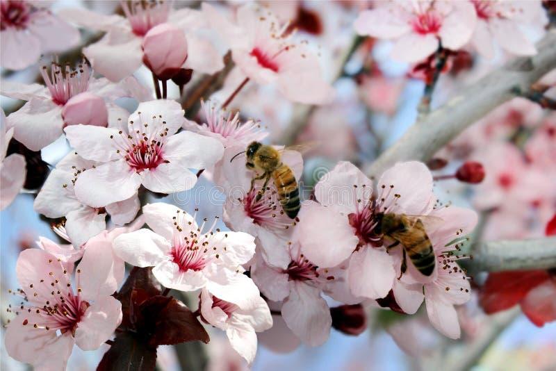 As abelhas coletam o néctar fotografia de stock