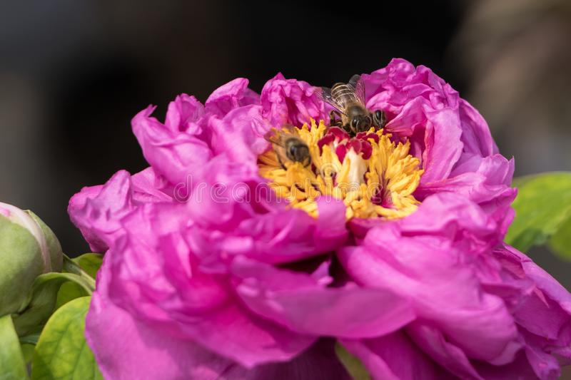 As abelhas colhem o centro de uma flor cor-de-rosa e amarela fotografia de stock