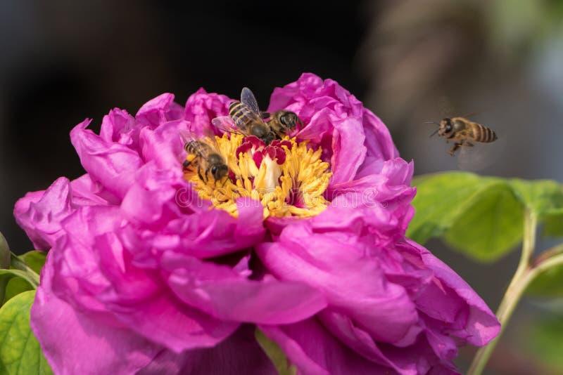 As abelhas colhem uma flor cor-de-rosa e amarela foto de stock