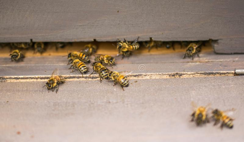 As abelhas de trabalho fecham-se acima perto da colmeia em um dia ensolarado brilhante imagem de stock