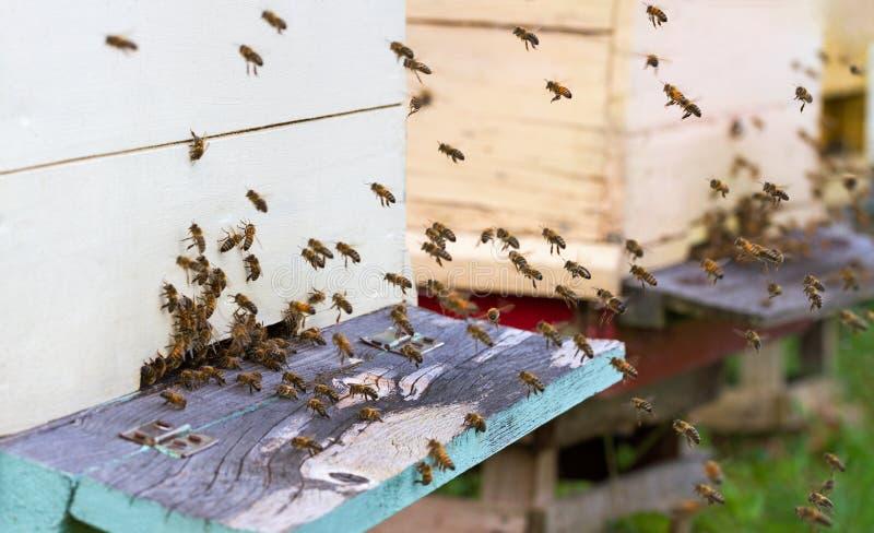 As abelhas do mel são enxame fotografia de stock royalty free
