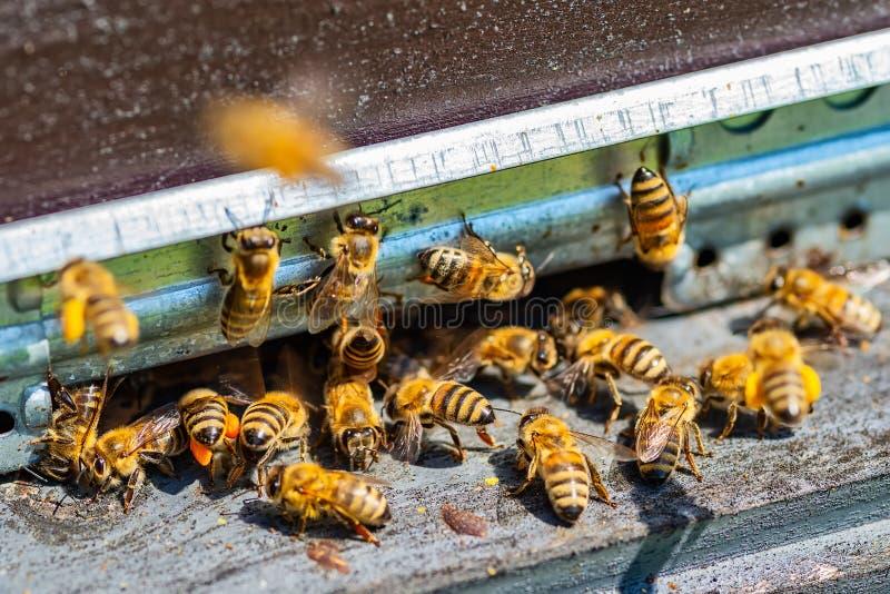 As abelhas entram na colmeia imagem de stock