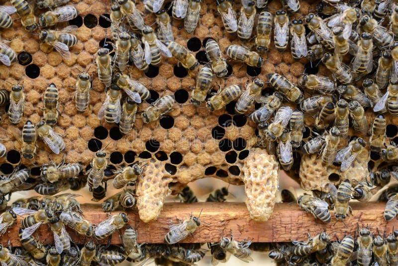 As abelhas estão pagando a atenção à larva tornando-se da abelha de rainha fotografia de stock