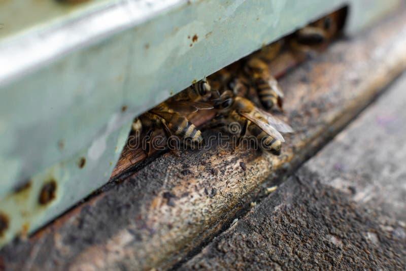 As abelhas no fim dianteiro do macro da entrada da colmeia acima Abelha que voa para acumular Abelha do mel que entra na colmeia  fotografia de stock royalty free