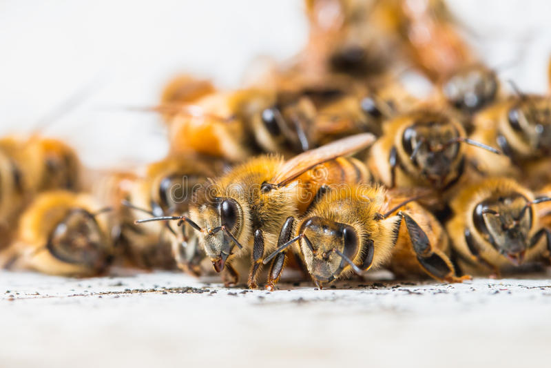 As abelhas para o néctar fotografia de stock