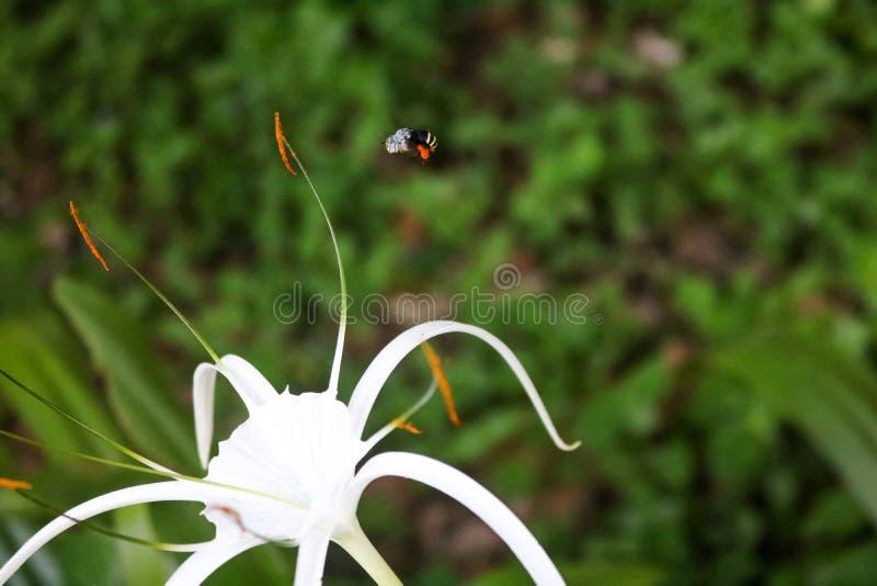 As abelhas pequenas bonitas pululam em torno das flores brancas no jardim imagens de stock
