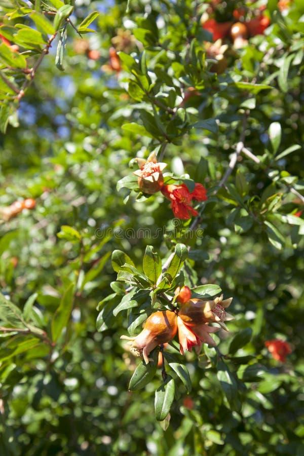 As abelhas polinizam a árvore de romã de florescência fotos de stock royalty free