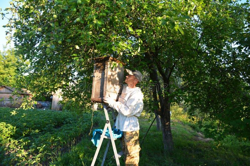 As abelhas pululam o coletor O apicultor que trava abelhas selvagens do mel pulula na árvore Como travar um enxame da abelha e o  fotos de stock