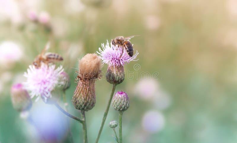 As abelhas recolhem o néctar das flores em um prado do verão fotos de stock