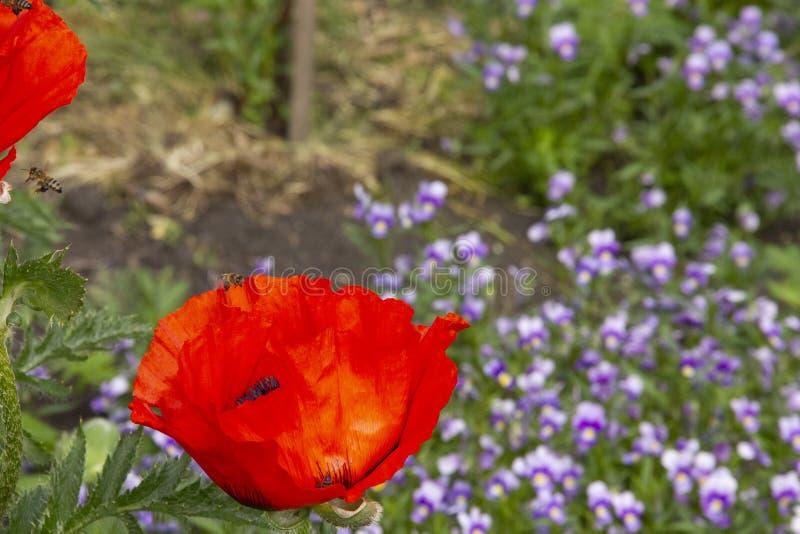 As abelhas recolhem o néctar das papoilas vermelhas As abelhas voam sobre flores fotos de stock royalty free