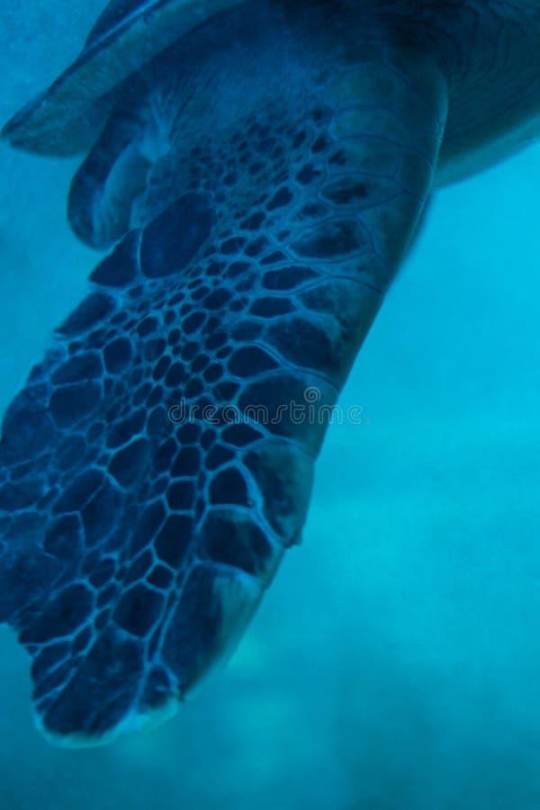 As aletas de tartaruga verde nadadora em Chongqing Zoo fotos de stock