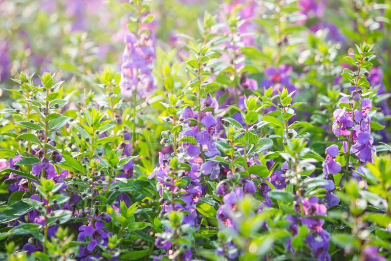 As alfazemas da folha da samambaia, a alfazema violeta florescem a florescência no campo fotografia de stock royalty free
