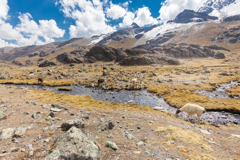 As alpacas dos lamas reunem montanhas do córrego do rio do leito fluvial do pasto, Bolívia foto de stock