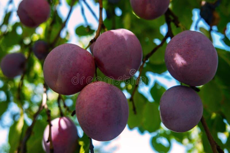 As ameixas azuis crescem em uma árvore no jardim fotos de stock