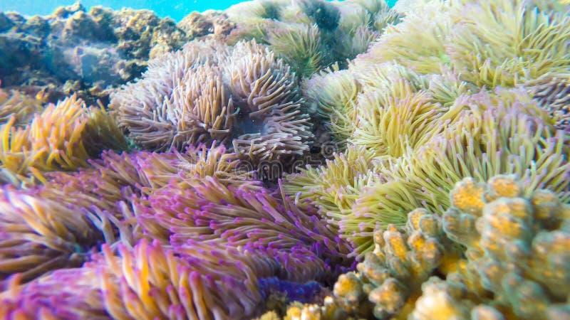 As anêmonas de mar e os clownfish encontraram na área do recife de corais imagens de stock