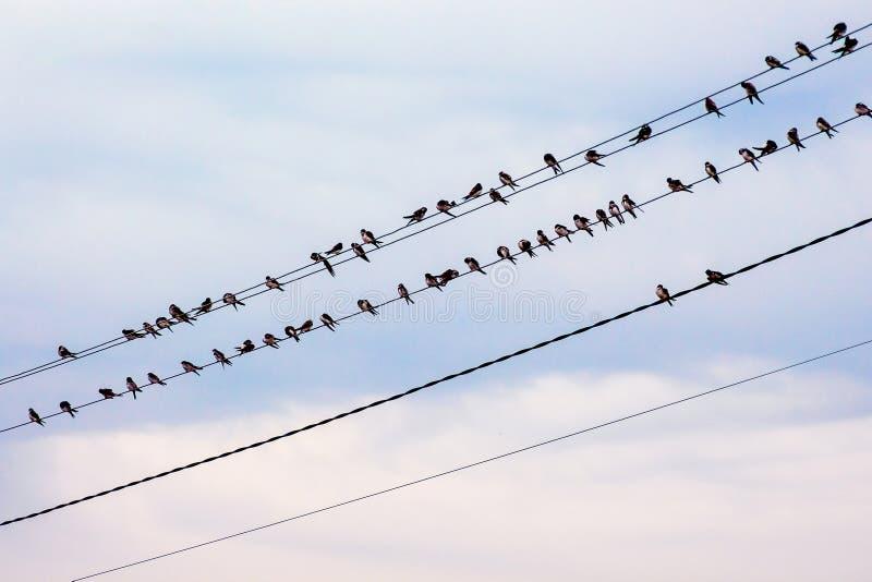 As andorinhas estão sentando-se nos fios do line_ do poder imagem de stock royalty free