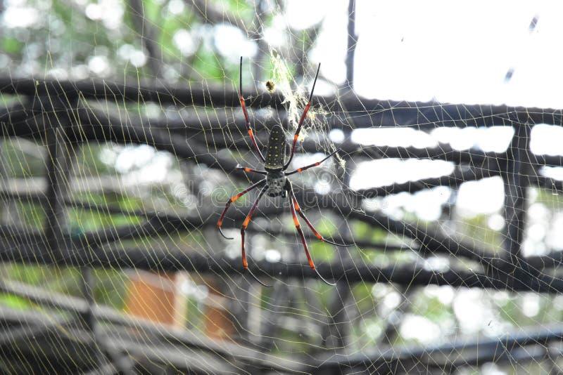 As aranhas da banana ou os esfera-tecelões dourados vivem em uma área mais morna na árvore grande foto de stock royalty free