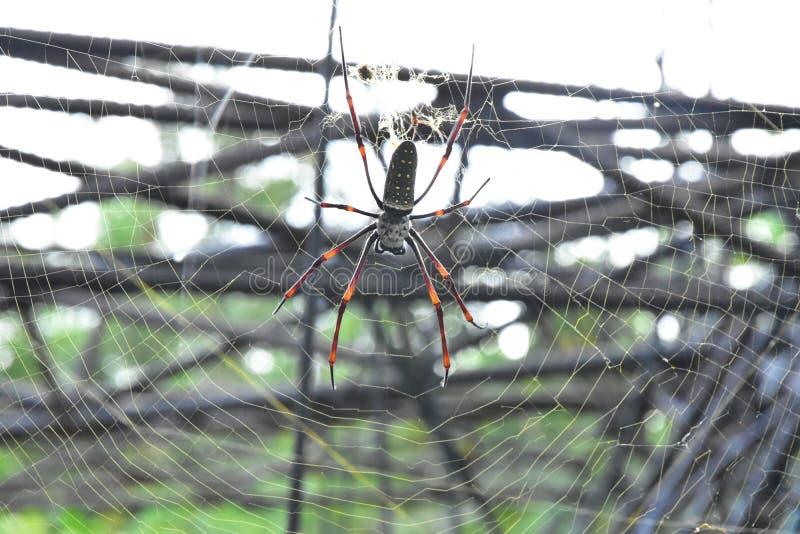As aranhas da banana ou os esfera-tecelões dourados vivem em uma área mais morna na árvore grande imagens de stock