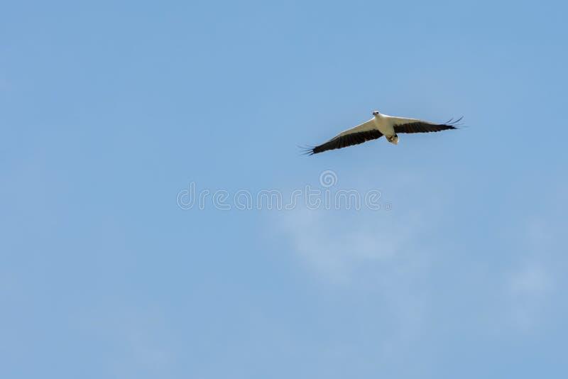 as asas de voo Branco-inchadas de Mar-Eagle espalharam ao céu azul imagem de stock