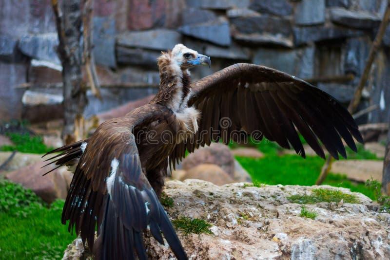 As asas largas dos abutres Cinereous fotografia de stock