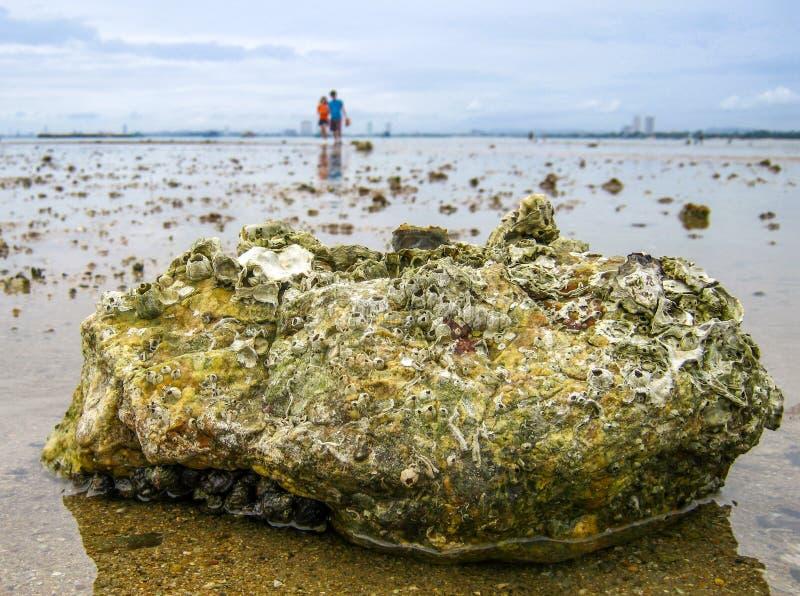 As associações da maré na praia são habitat do animal excepcionalmente adaptável imagem de stock royalty free