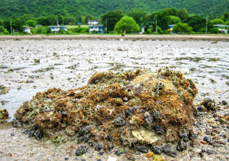 As associações da maré na praia são habitat do animal excepcionalmente adaptável fotos de stock royalty free