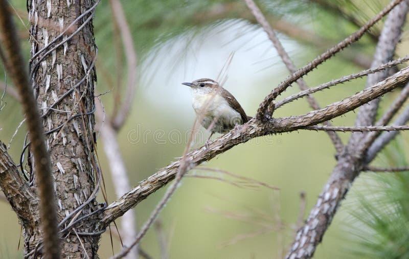 As aves canoras de Carolina Wren empoleiraram-se no pinheiro, Monroe, Walton County GA foto de stock