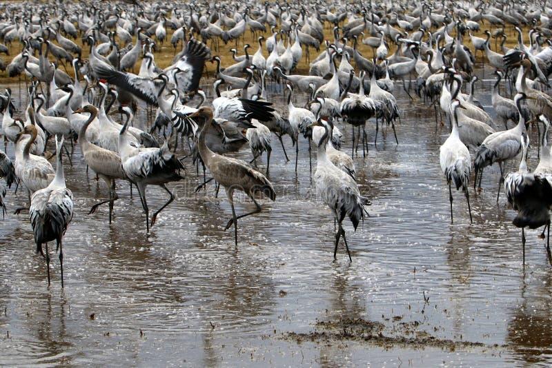 As aves migratórias em um santuário de pássaro nacional Hula são ficadas situadas em Israel do norte imagem de stock royalty free